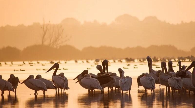 wetlands swamp marsh Great White Pelicans Birdwatching