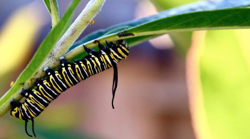 A monarch butterfly caterpillar. Monarchs are intolerant of freezing weather, and typically overwintered in Mexico. They now are overwintering in California, thanks to milder winter temperatures. CREDIT Noah Whiteman, UC Berkeley