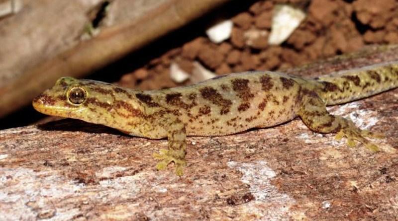 One of the Australian-native, critically endangered lizard species: Lister's gecko. CREDIT Parks Australia.