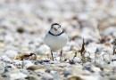 Piping Plover Endangered Beach Bird Rocks Ocean