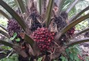 Bunches in an oil palm plantation in Indonesia. It takes about 38 weeks from initiation until bunches are ready for harvest. CREDIT Hendra Sugianto/University of Nebraska-Lincoln