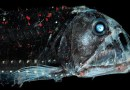 The habitat for deep-sea organisms (e.g. the viper fish) could become smaller in the future. CREDIT S. Zankl.