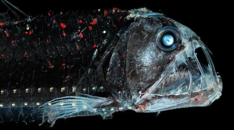 The habitat for deep-sea organisms (e.g. the viper fish) could become smaller in the future. CREDIT S. Zankl.