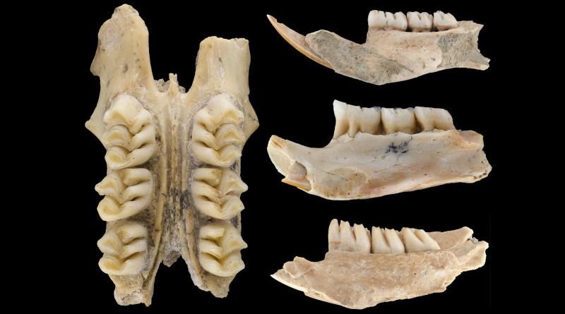 Photograph of some of the cloud rat fossils. CREDIT Lauren Nassef, Field Museum
