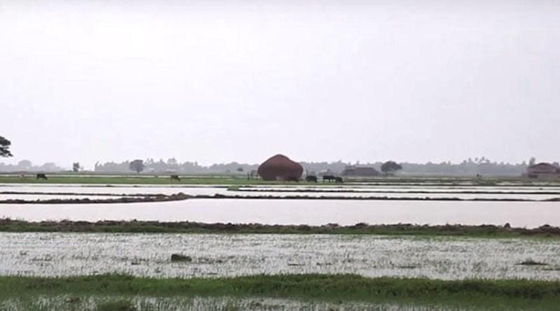 Rice paddy in Myanmar. Photo Credit: DMG
