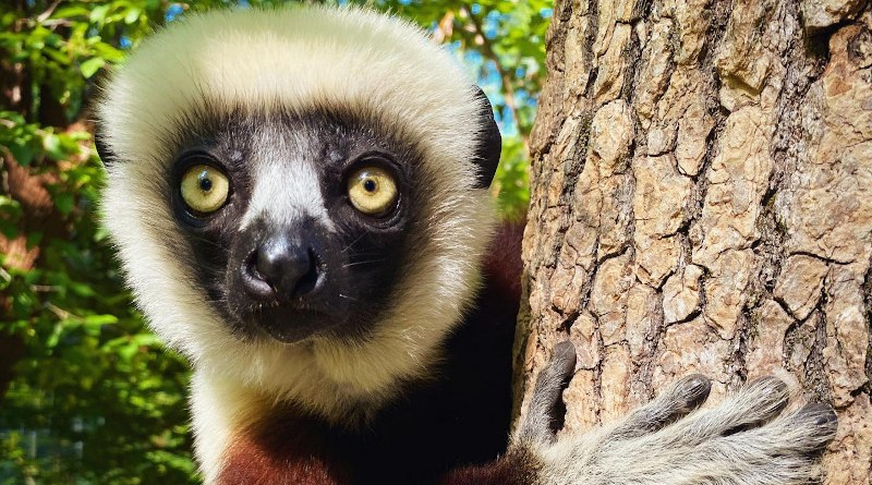 A new study sequencing the genome of four species of sifakas (Propithecus), a genus of lemurs found in Madagascar's forests, reveals that these animals' taste for leaves runs all the way to their genes, which are also more diverse than expected for an endangered species. CREDIT Lydia Greene, Duke University