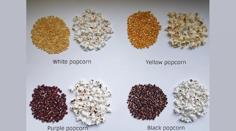 The research team observed 49 different varieties of popcorn including white popcorn, yellow popcorn, purple popcorn, and black popcorn to determine economical ways to create high-quality popcorn. CREDIT Maria Fernanda Maioli