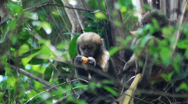 In a habitat with high hunting pressure, the risk of predation influences the habits of these monkeys more than the availability of food. CREDIT Irene Delval/IP-USP