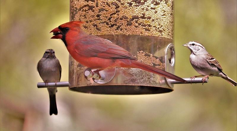 Cardinal Red Bird Male Bird Feeder Wildlife Nature