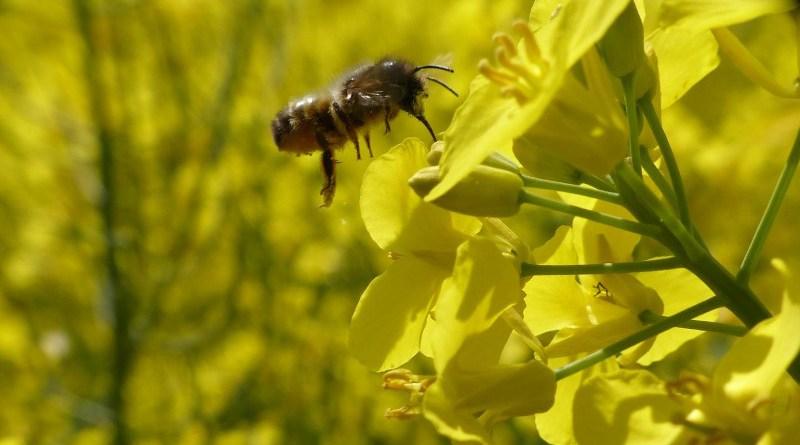 Solitary wild bee on an oilseed rape flower CREDIT N Beyer