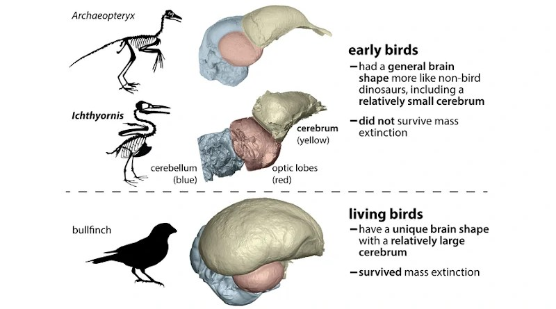 The ancestors of living birds had a brain shape much different from other dinosaurs (including other early birds). This suggests that brain differences may have affected survival during the mass extinction that wiped out all nonavian dinosaurs. CREDIT: Christopher Torres / The University of Texas at Austin
