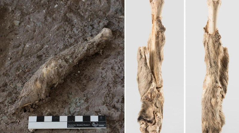 The mummified sheep leg from which DNA was obtained. Image courtesy of Deutsches Bergbau-Museum Bochum and Zanjan Cultural Heritage Centre, Archaeological Museum of Zanjan.