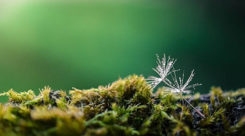 Dandelion Seeds Moss Dew Dewdrops Droplets