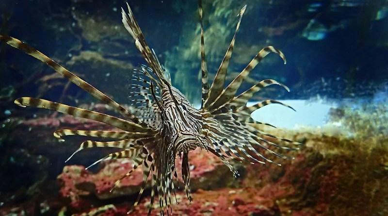 Lionfish Fish Underwater Nature Sea Waters