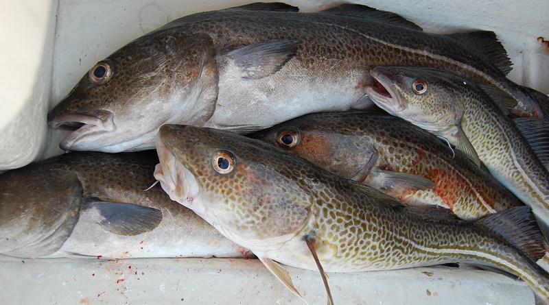 fishing cod