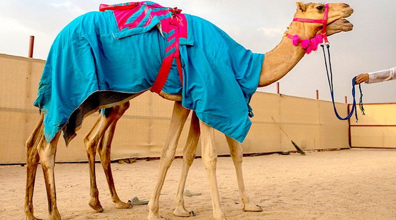 Amal Misfer Al-Faran had three camels running in the 'Al-Haqayeq' category (for two-year-olds) as part of the festival's preliminary stage — Al-Dana, The Pearl, and Jarrah. (Supplied)