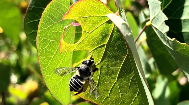 An alfalfa leafcutter bee, the type used by UC Riverside scientists to study the effects of pesticide and water levels. CREDIT: David Rankin/UCR