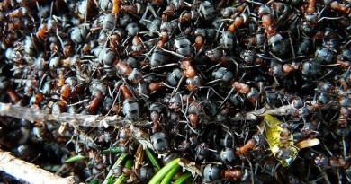 Ants Wood Ants Formica Red Wood Ant Formica Rufa