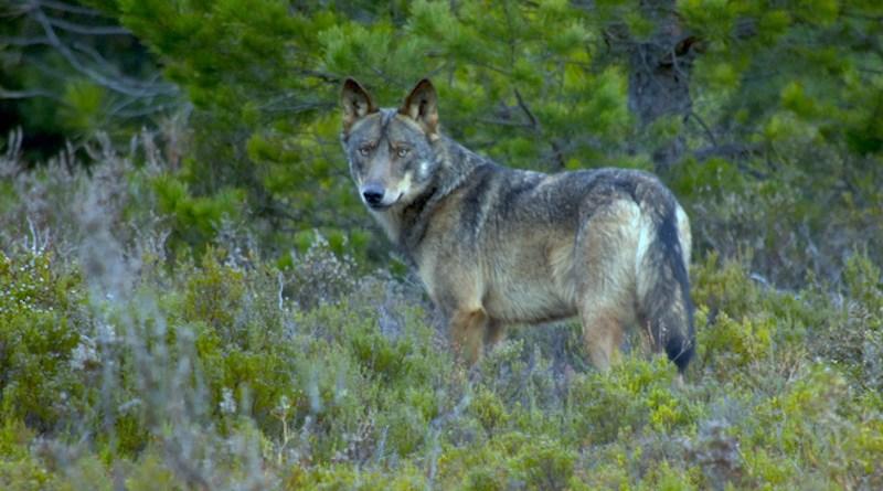 A wolf spotted in Sierra de la Culebra CREDIT: Chisco Lema