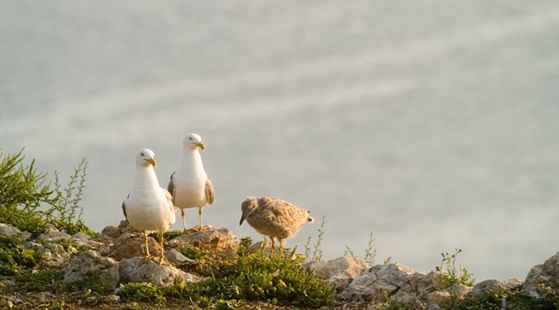 The study by the Group on Seabird Ecology of the University of Barcelona reveals extreme changes in the feeding patterns of the yellow-legged gull over the last twenty years. Photo: Raül Ramos, UB-IRBio