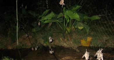 Bats caught during zoonotic virus surveillance efforts (Madre de Dios, Peru) CREDIT: Daniel Streicker, Mollentze N, et al., PLOS Biology, CC-BY 4.0 (https://creativecommons.org/licenses/by/4.0/)