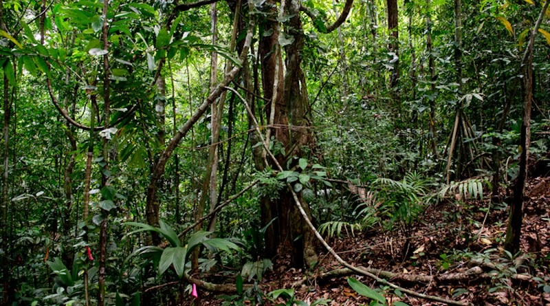 Lianas are responding to natural disturbance with increased proliferation, but their response seems to be potentiated by other climate-change factors. CREDIT: Jorge Aleman, Smithsonian Tropical Research Institute