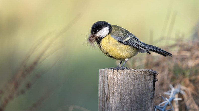New studies showed that nestling exposure to lead and arsenic, alters great tit DNA methylation patterns. Credit: Mostphotos