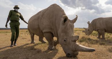Najin in Kenya. Copyright: www.BioResue.org/Jan Zwilling