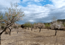 Picture of the case study where almond trees are diversified with thyme CREDIT: Diverfarming