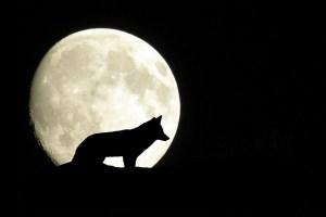 dessin de silhouette de loup se détachant sur la lune