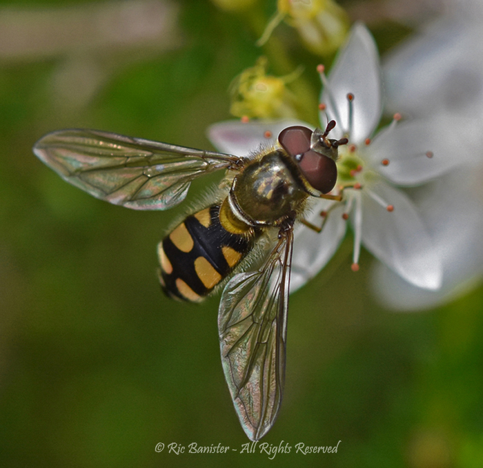 Hover Fly by Ric Banister