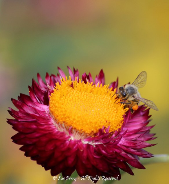 Pollinator by Sue Perry