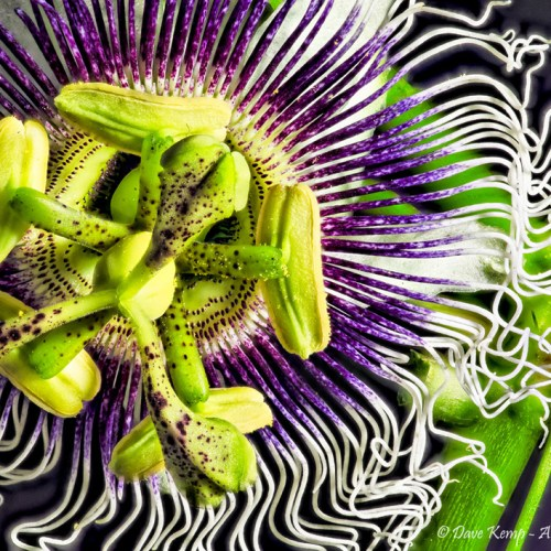 Passion Fruit Flower by David Kemp