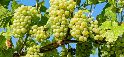 Harvest: harvest in flexion due to the climate effect