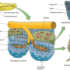 Pancreas Anatomy Diagram Fujitsu Halcyon Wiring And Histology Of The Eurocytology