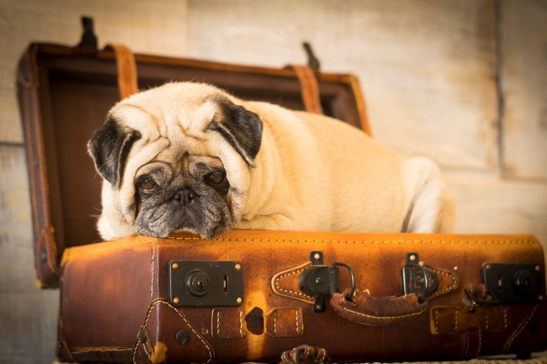 raças de cachorro que não podem viajar