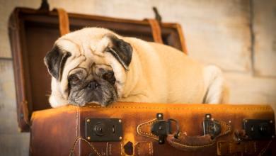 Photo of Raças de cachorro que não podem viajar de avião: veja a lista