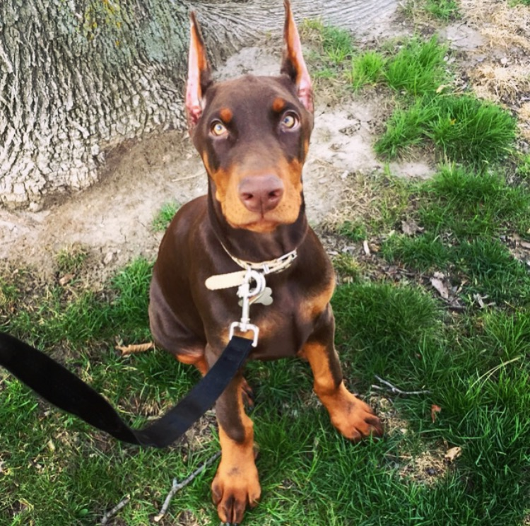 Red Doberman Mix Puppies