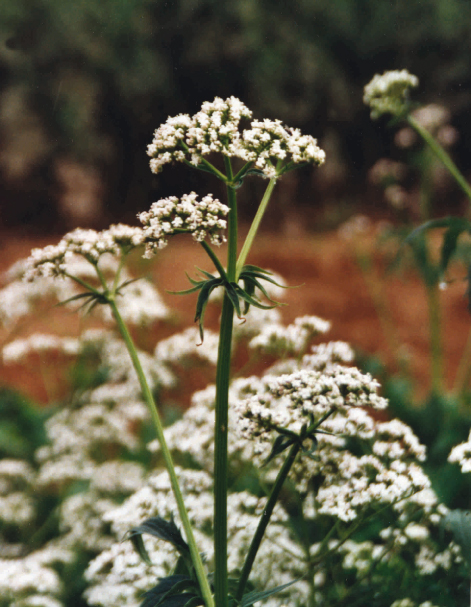Valerian Dry Extract – Euromed