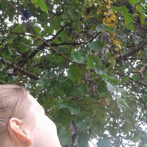 Sopronban még a nyírfán is szőlő terem
