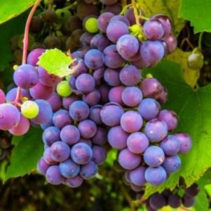 Sopronban sincs szőlőtúltermelési válság