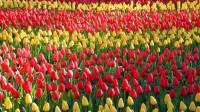 2019 Visit Keukenhof Tulip and Flower Gardens, South Holland