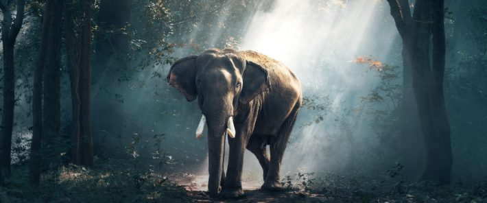 How elephants contribute to the fight against climate change