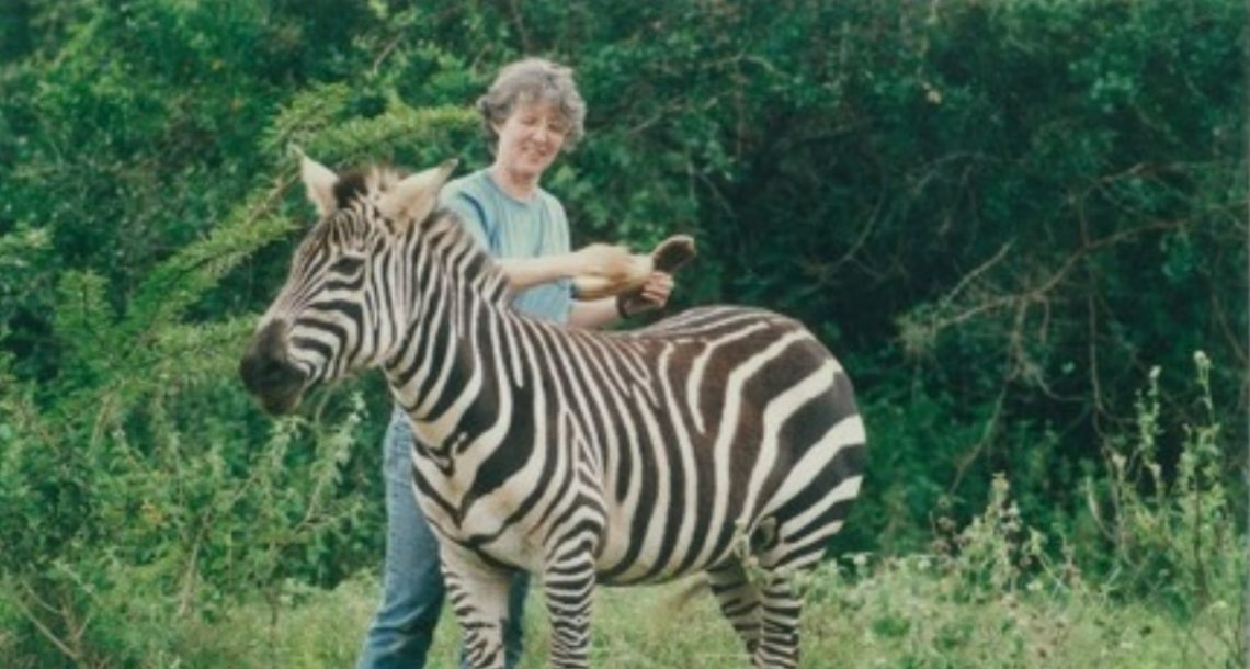 Zebra stripes may be for temperature control after all