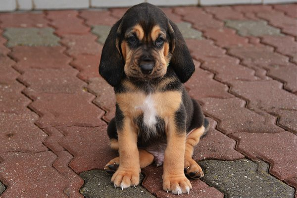 Bloodhound Breed Dog Breed Information Amp Pictures