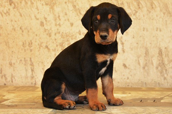 Transylvanian Hound Puppies Breed Information Amp Puppies