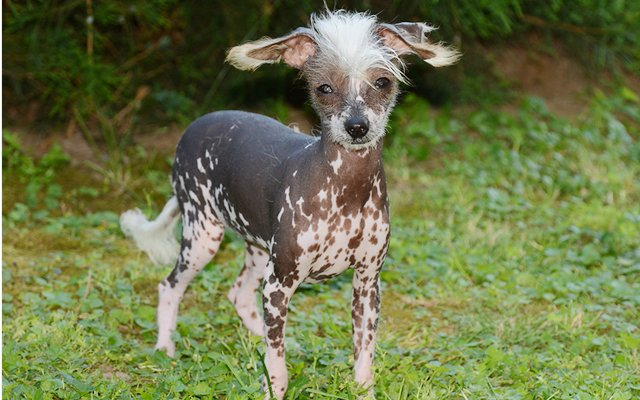 Chinese Crested Puppies Breed information  Puppies for Sale