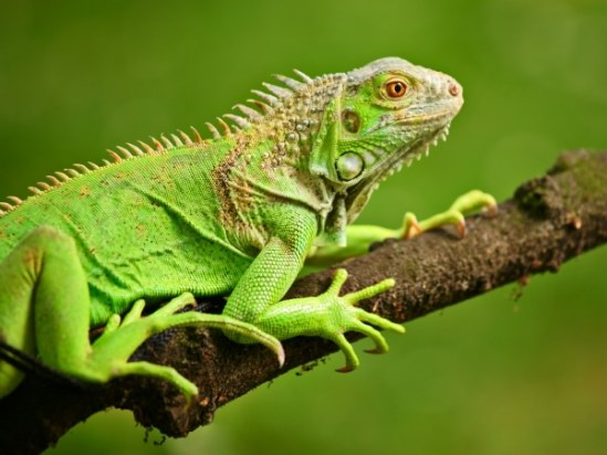 Animals You Should Not Have As Pets - Iguanas