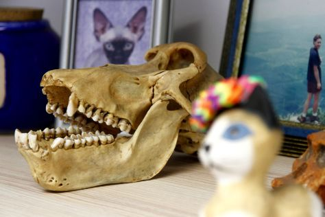 Skulls decorate the office of University of Pretoria forensic anthropologist Ericka L'Abbe, who has been working on improving the database for identifying skeletal remains.