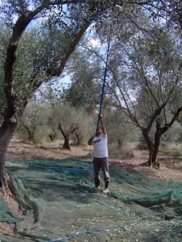 pettinatura olivo